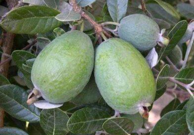 Feijoa (Kaymak Ağacı) Meyvesi Yetiştiriciliği